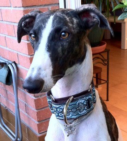 Bimba, la galgo de Olga con el collar martingale Turquesa