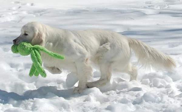 Golden en la nieve con un Kong Wubba Snugga