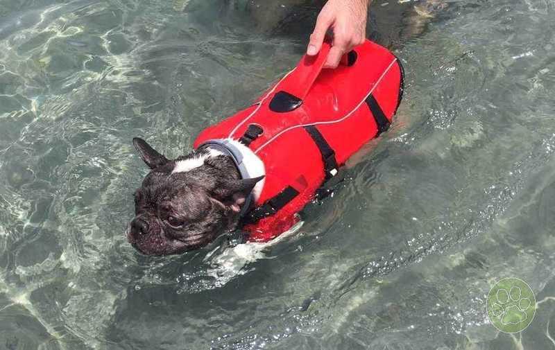 Bimba, la preciosa Bulldog francés con el chaleco salvavidas para perros