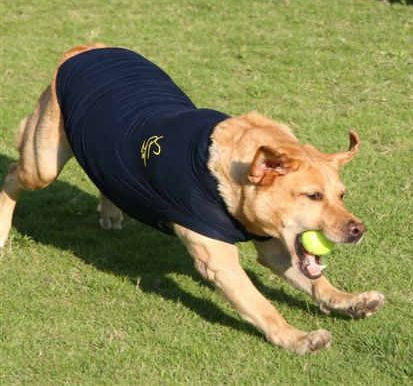 Golden retriever con la camiseta Medical Pet