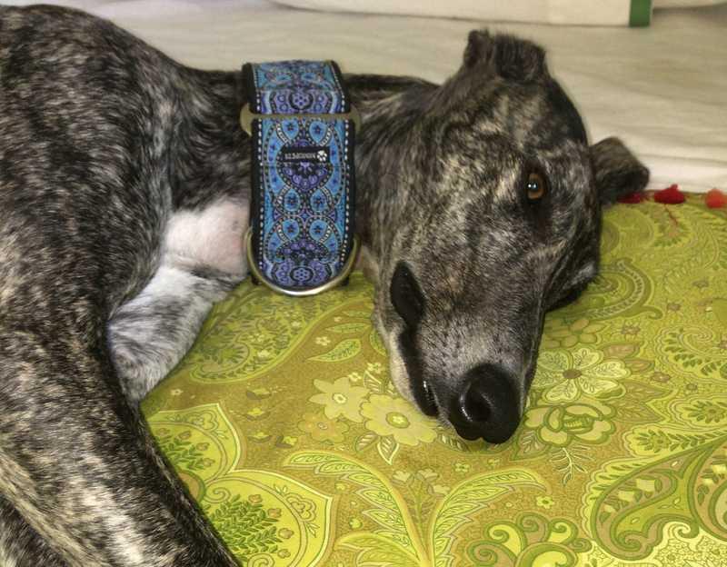 El perro de Alicia con nuestro martingale Amebas Blue