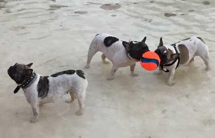 Los perros de Juan e Inés con la pelota Chuckit Kick fetch