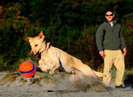 Perro jugando en la playa con la pelota Chuckit! Kick Fetch
