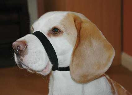 Beagle con el Quiet Dog puesto